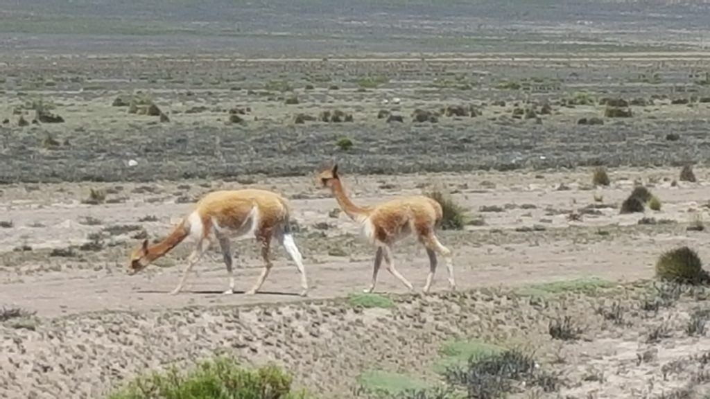 Vicunas in the wild,